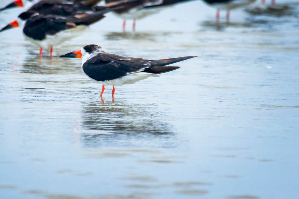 Black Skimmer Standing in Shallow Water at Beach
