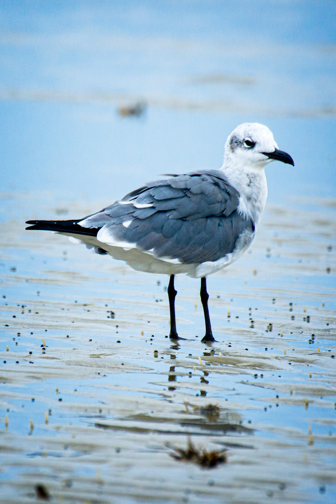 Laughing Gull Standing in Shallow Water at Beach