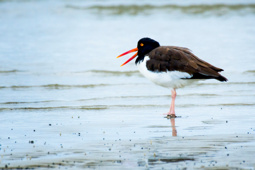 American Oyster Catcher in Shallow Water at Beach