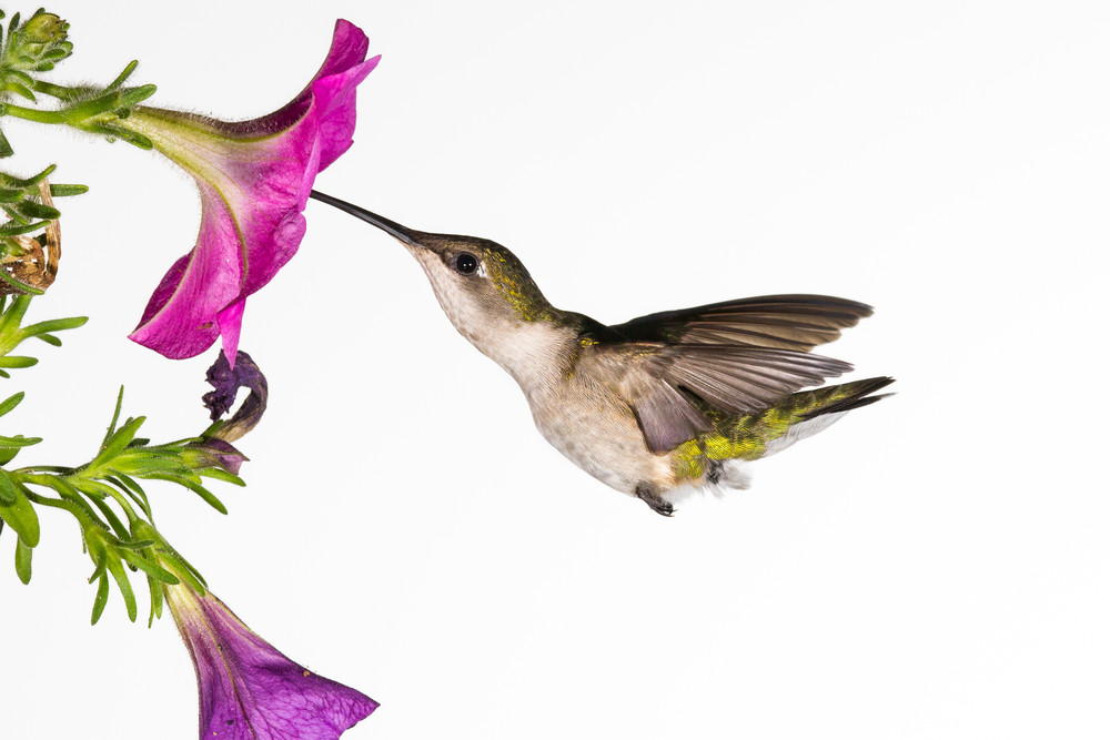 Ruby Throated Hummingbird Gathering Nectar Photography Art | Matt Cuda Nature Photography