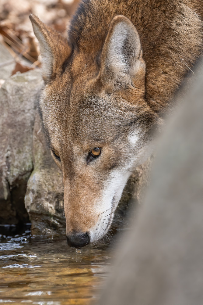 Red Wolf Drinking