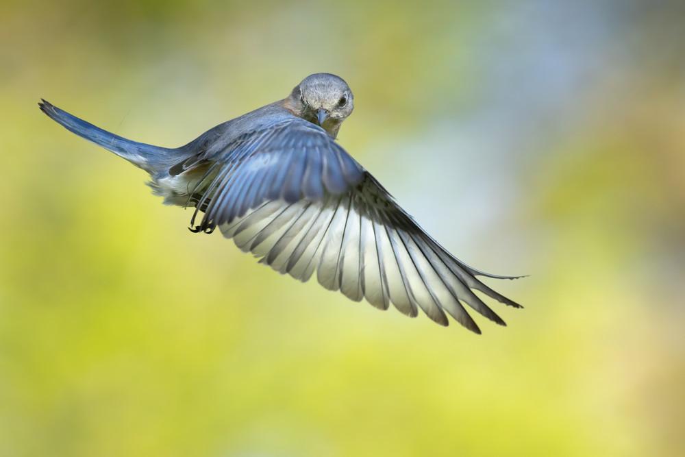 Eastern Bluebird in Flight