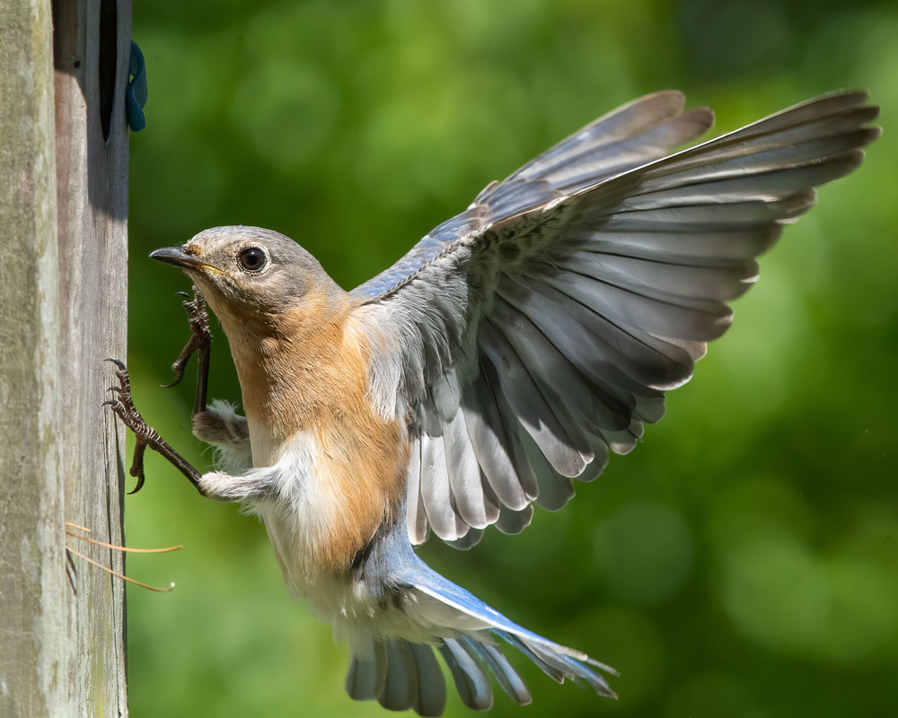 Eastern Bluebird Mother