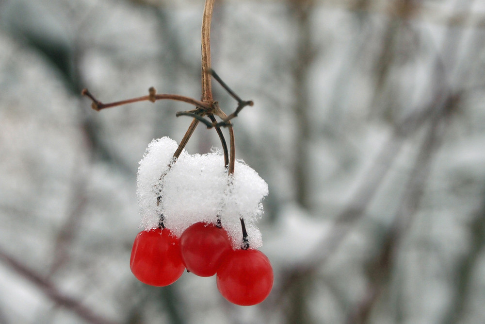 Winter Berries and Snow