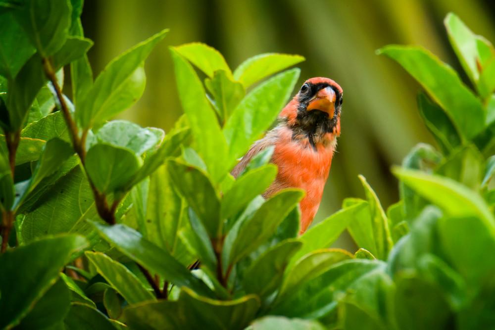 Northern Red Cardinal Playing Peekaboo