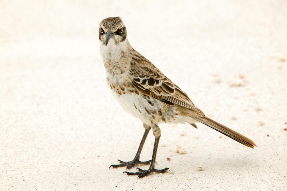 Galapagos Mockingbird on White Sandy Beach