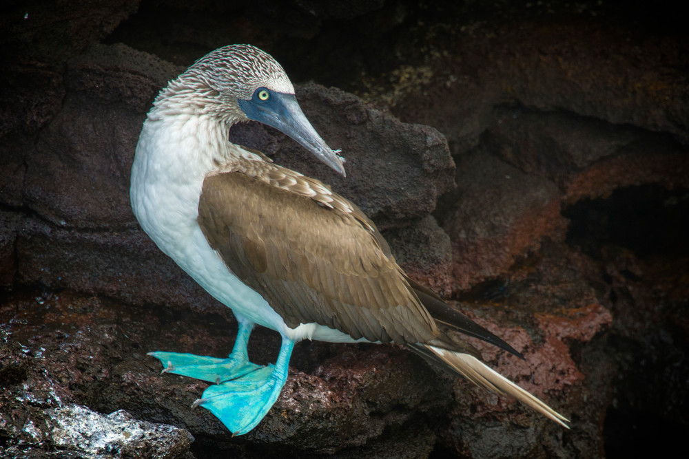 Blue Footed Booby Standing on Rocks