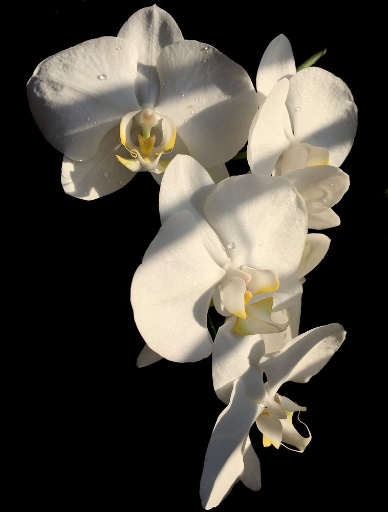 Orchid Art | Romanova Art