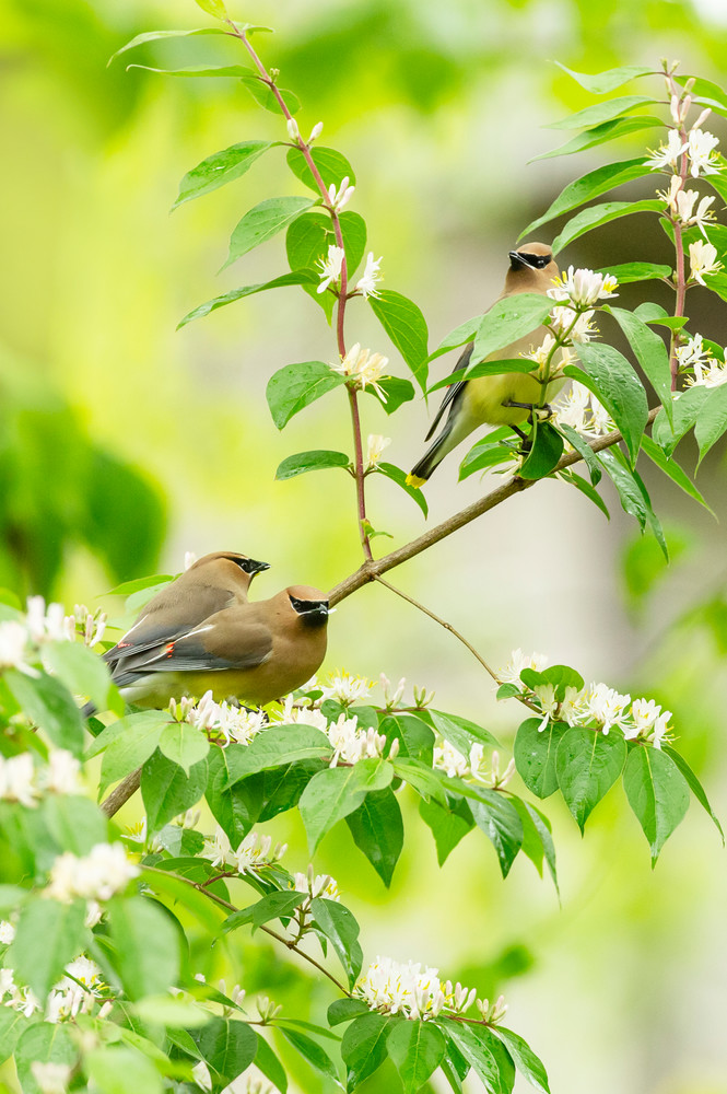 Cedar Waxwing 14 Photography Art | Deb Little Photography