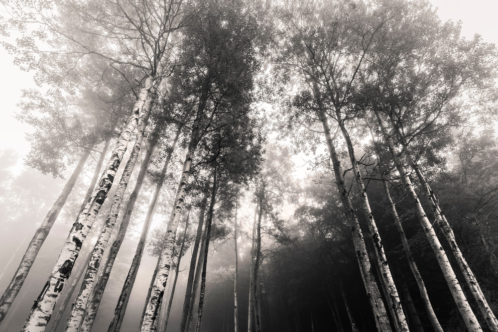 Birch Tree 3 Photography Art | Kurt Gardner Photogarphy Gallery