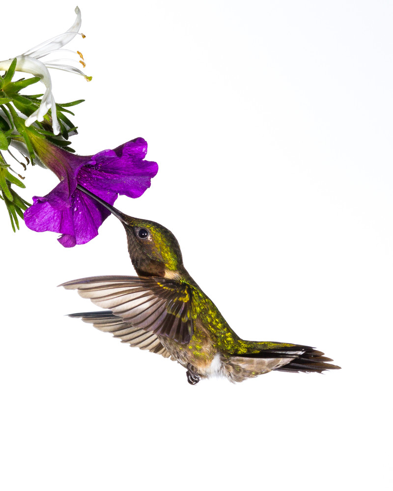 Hummingbird Gathering Nectar Photography Art | Matt Cuda Nature Photography