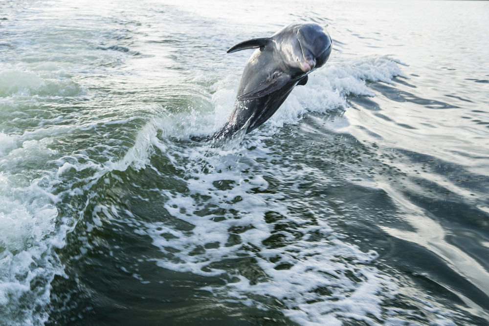 Dolphin Dane features  a happy Bottlenose Dolphin frolicking in the wake of a boat