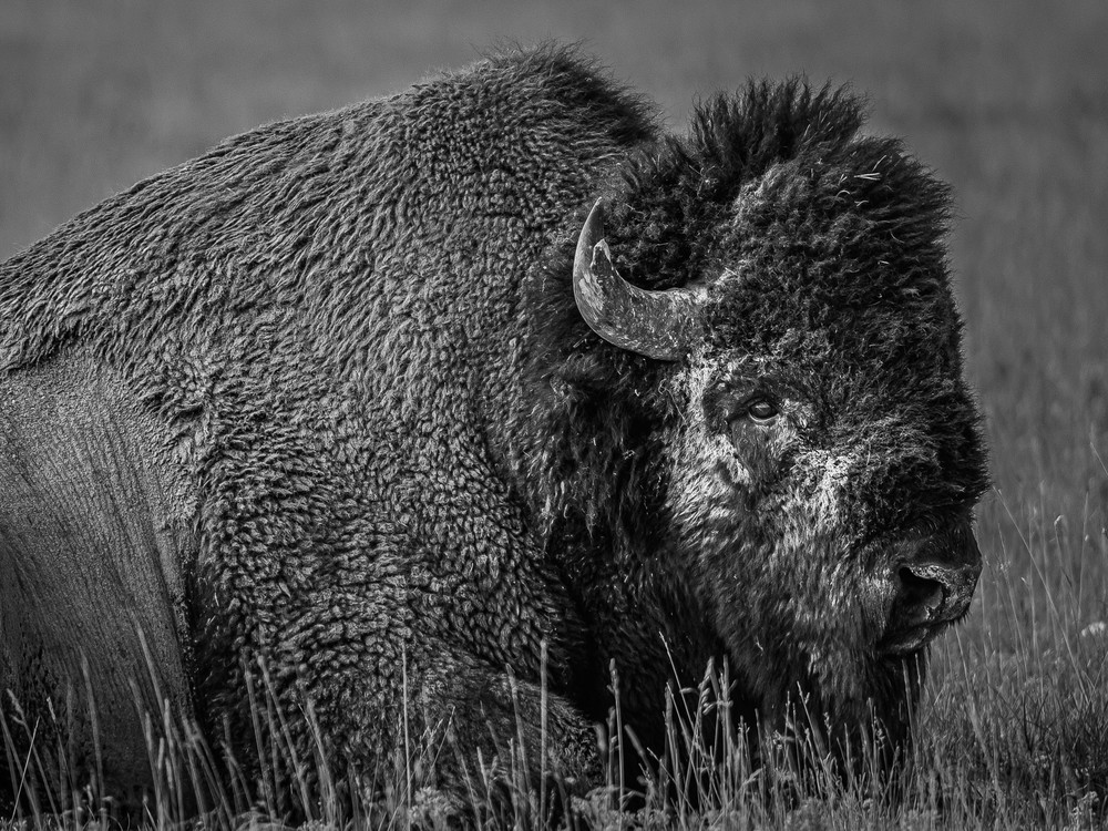 Last Of The Breed  Yellowstone Photography Art | Casey McFarland Photography