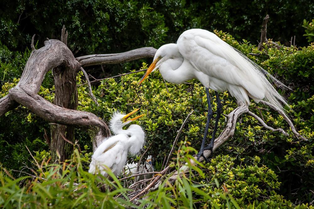 Great Egrets Love
