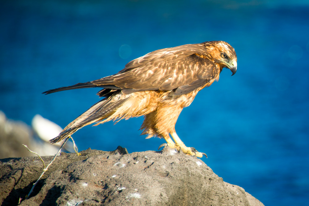 Galapagos Hawk on a Cliff Above Pacific Ocean