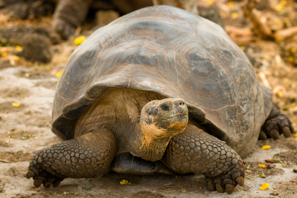 Giant Tortoise Crawling Along