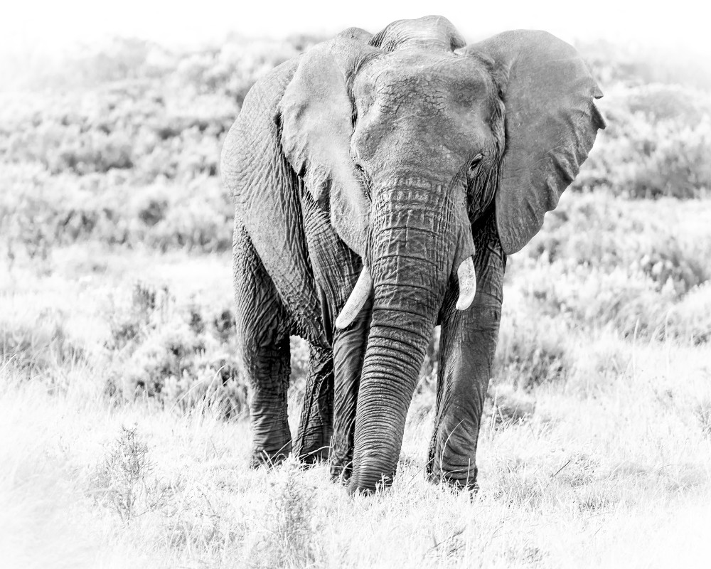 Elephant in Gondwana, 2016 by artist Carolyn A. Beegan