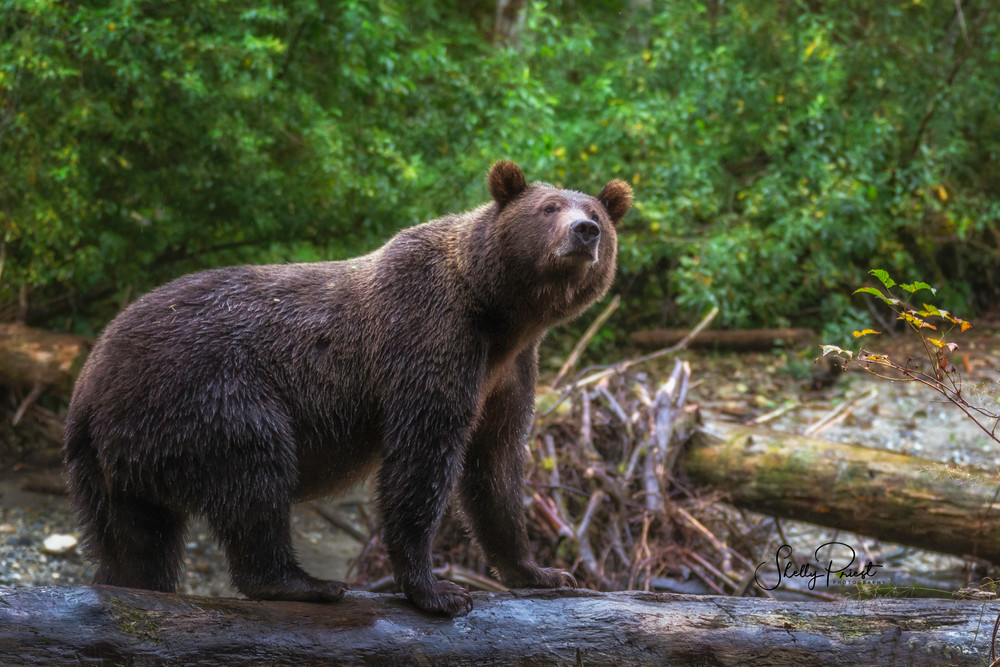 Curious Grizzly Photography Art | Shelly Priest Photography