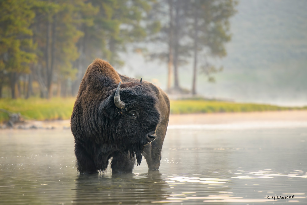 Bull Bison at Nez Perce Ford  #2152
