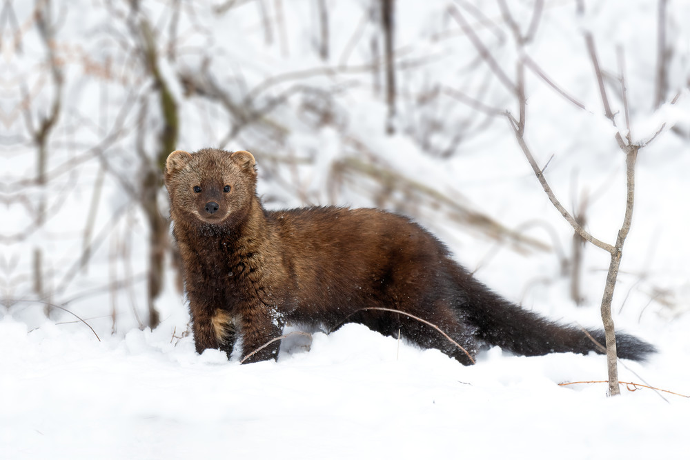 Fisher in Snow