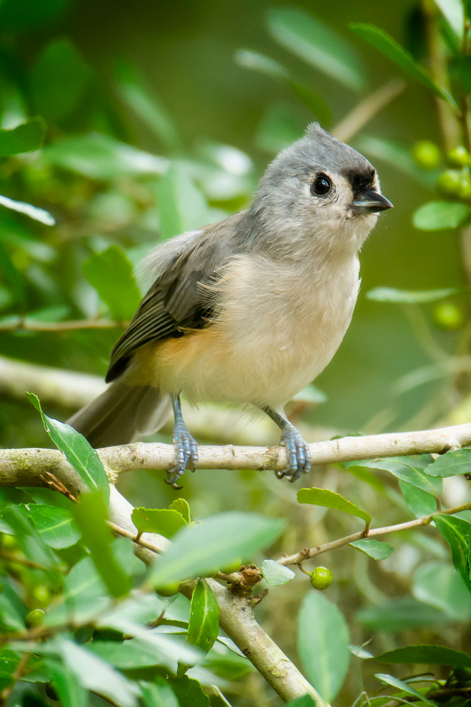 Tufted Titmouse in Bush