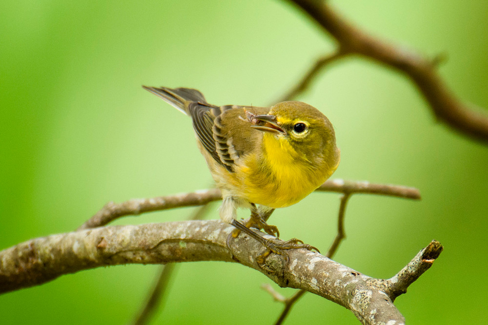 Pine Warbler with a Snack