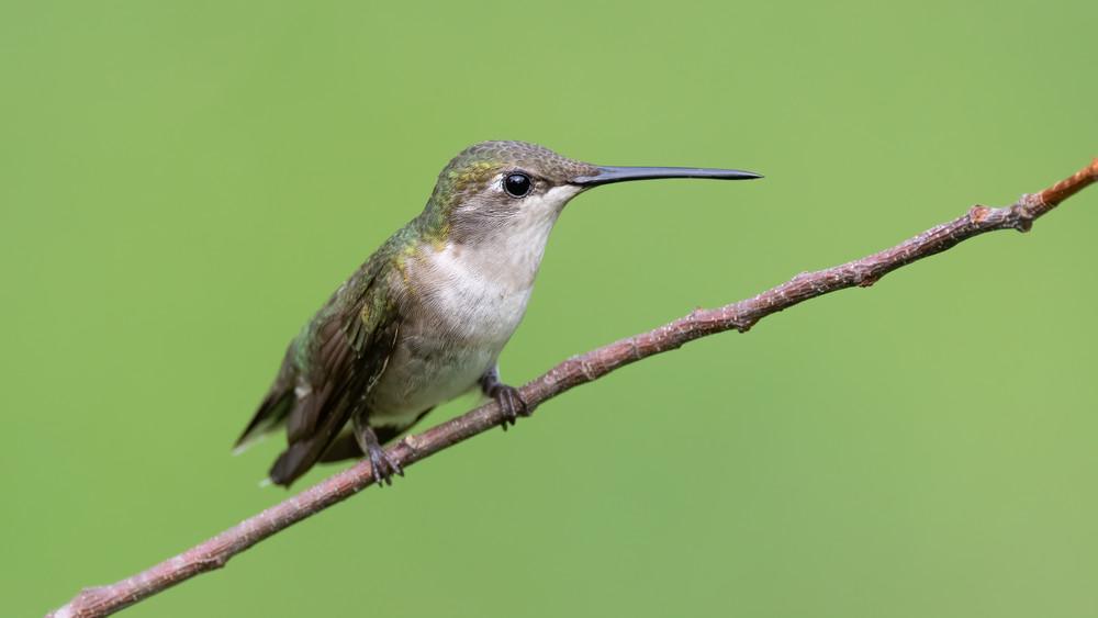 Ruby-throated Hummnigbird