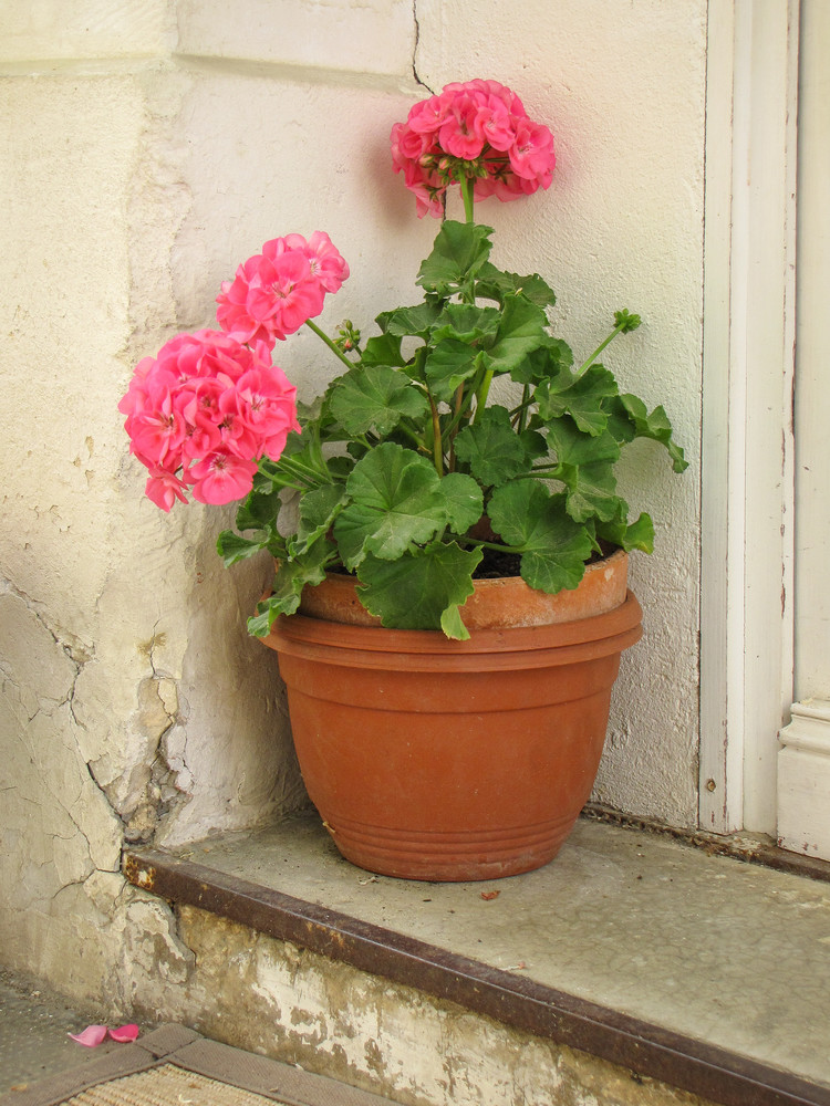 Pink Potted Geraniums Photography Art   Julie Williams Fine Art Photography