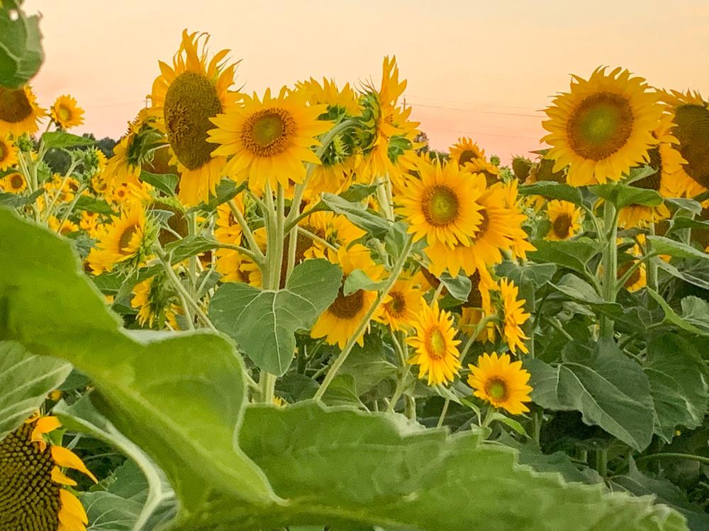 Sunflowers At Sunset Photography Art | Julie Williams Fine Art Photography
