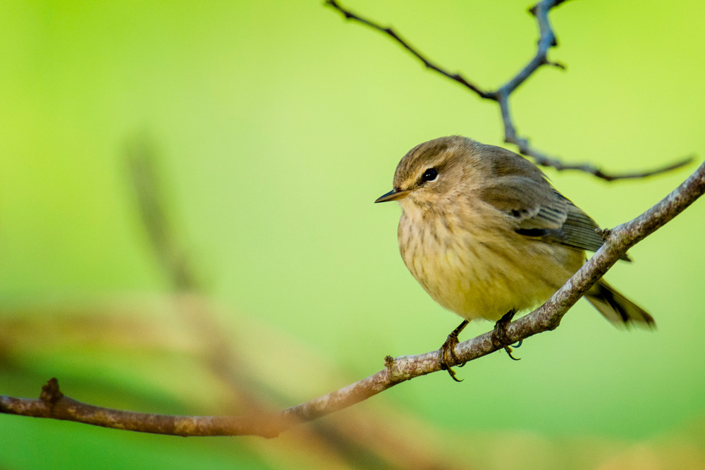 Palm Warbler on a Branch