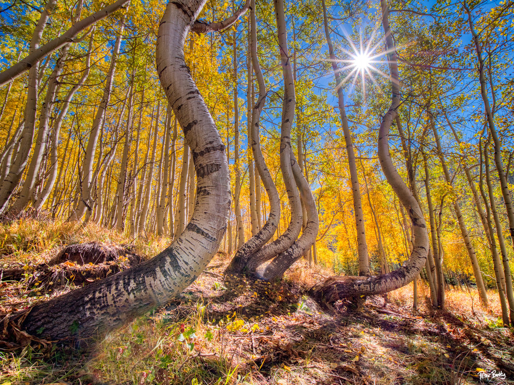 Dancing Aspen Trees Ii Photography Art | Peter Batty Photography