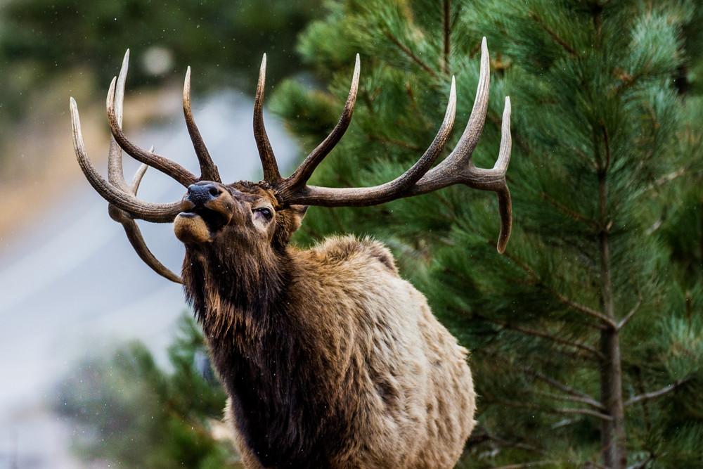 Snow Call Elk Bugle in Colorado Estes Park