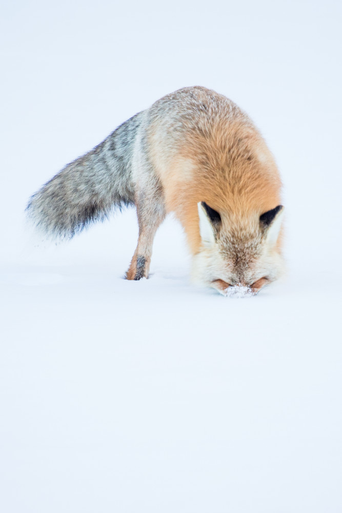 Fox Hunting in the Snow in Rocky Mountain National Park Wildlife Photography