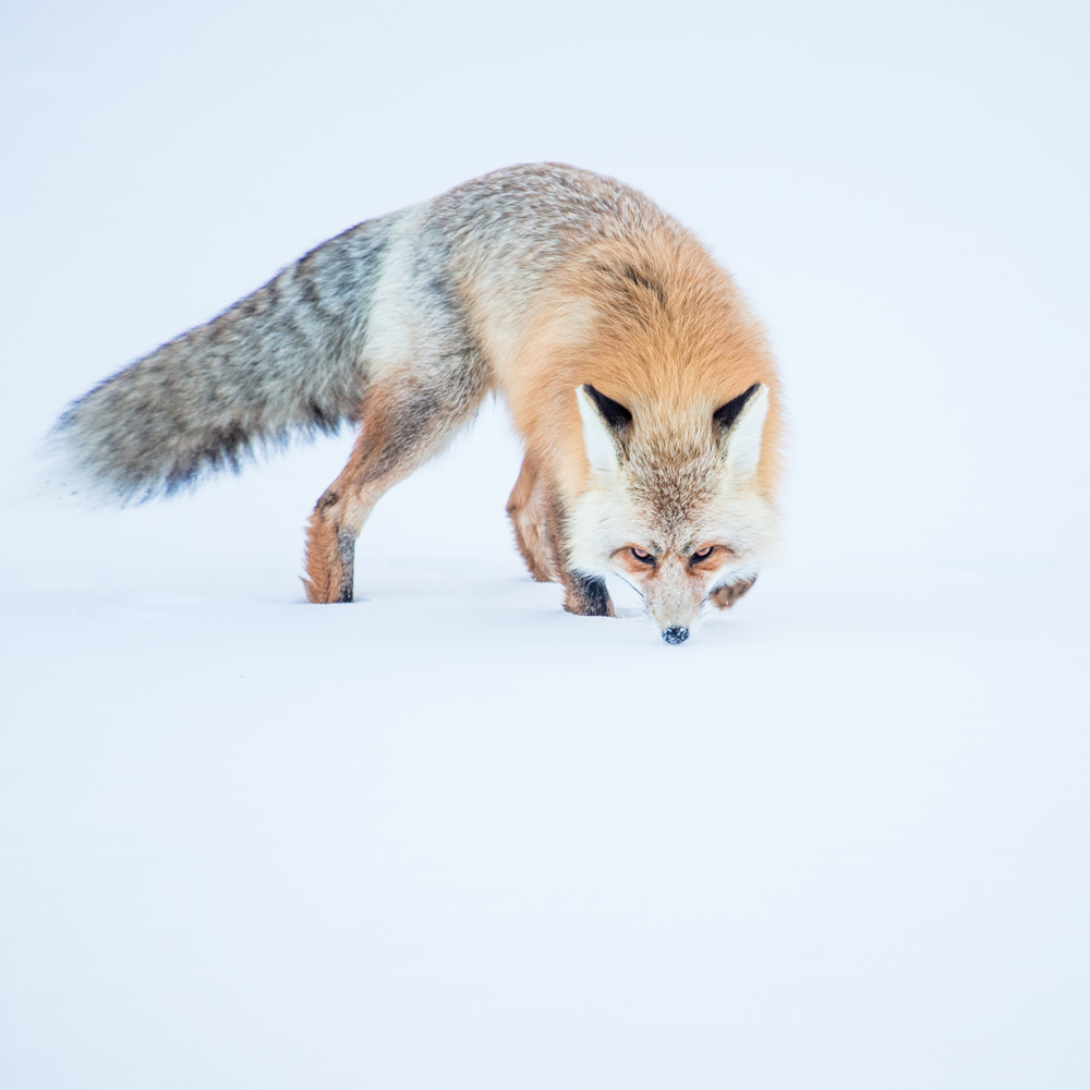 Fox Hunting In the Snow of Colorado Rocky Mountain National Park