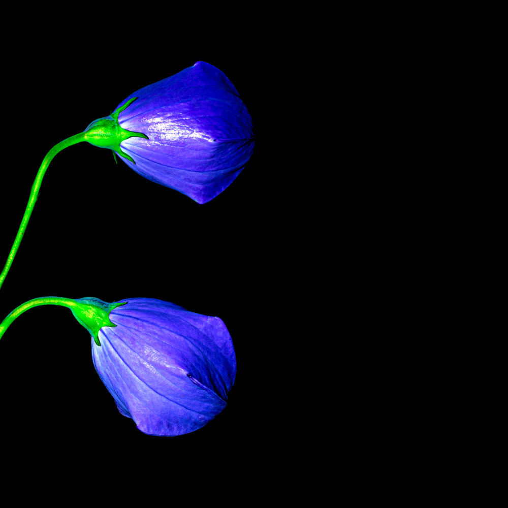 blue flower photograph