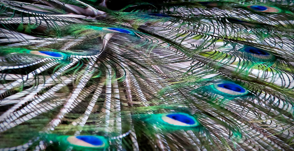 Plumage Of Lakshmi Vers 2 Photography Art | Ed Sancious - Stillness In Change