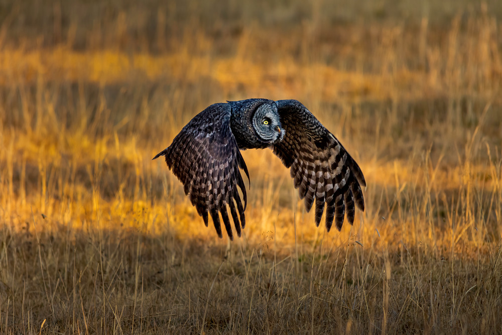Great Gray Owl In Flight Photography Art | McKendrick Photography