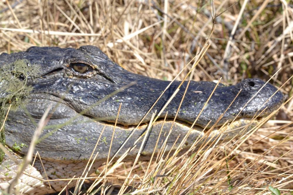 Alligator Eye 2   Copy Photography Art   Thistle-Dhu