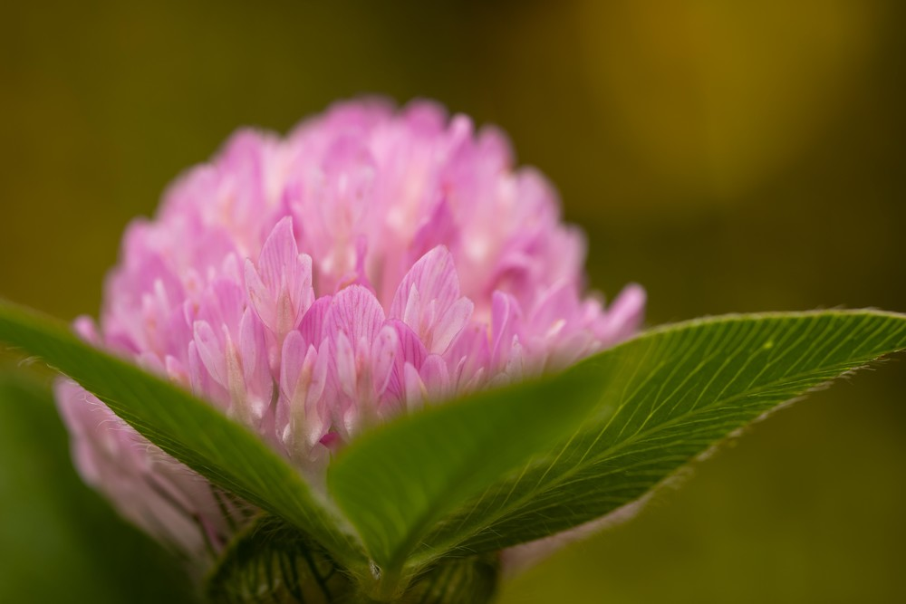 Red Clover flower and leaves - Fine Art photographs for sale.