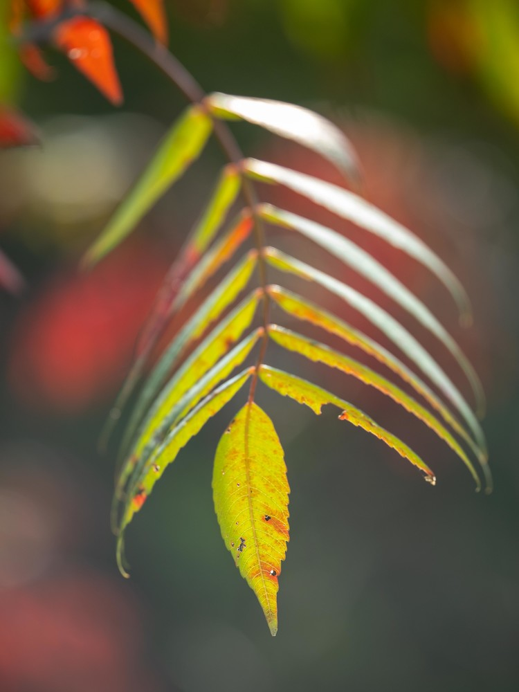 Autumn colored sumac leaves - Fine Art photograph for sale.