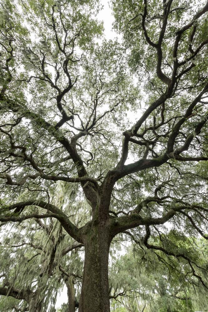 Live Oak Tree Branch Pattern Vertical, Damon, Texas