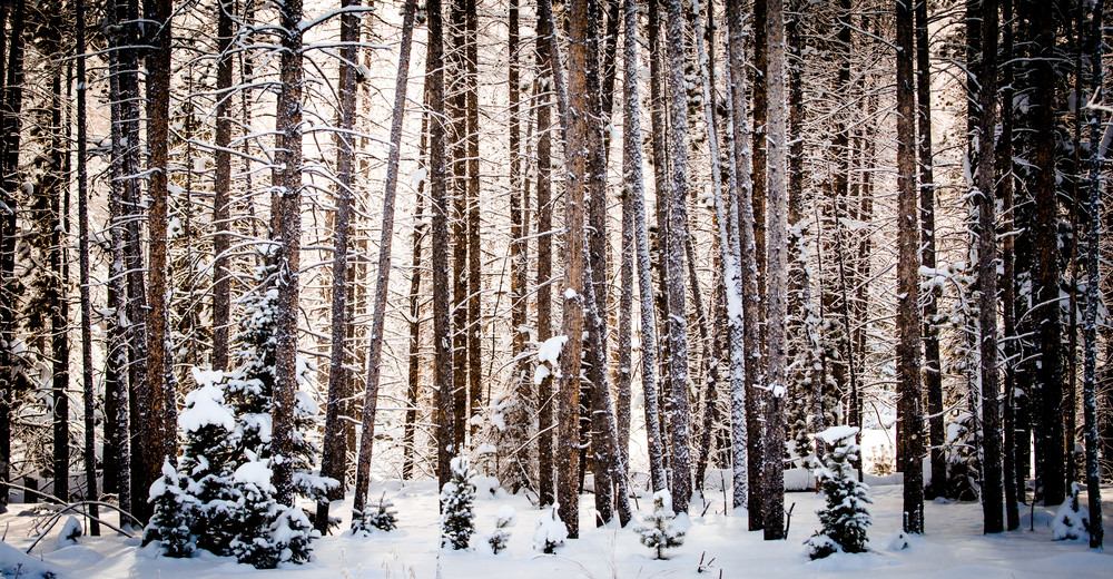 Snow covered Trees in Colorado