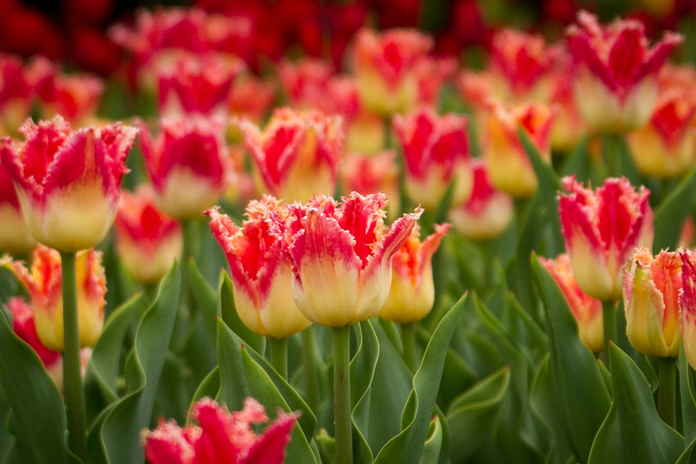 Extraordinary Colourful Tulips Photography Art | Julie Williams Fine Art Photography