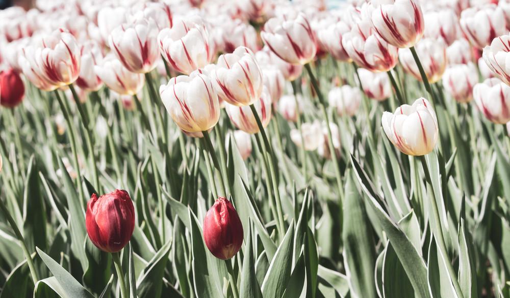 Rose Tulips  Photography Art   Julie Williams Fine Art Photography
