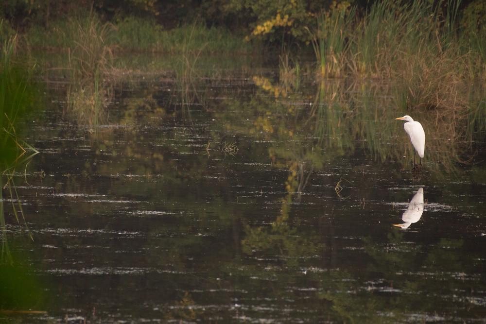 Egret, Proud Lake