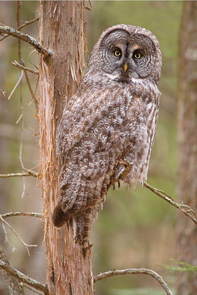 Great Gray Owl in Cedar