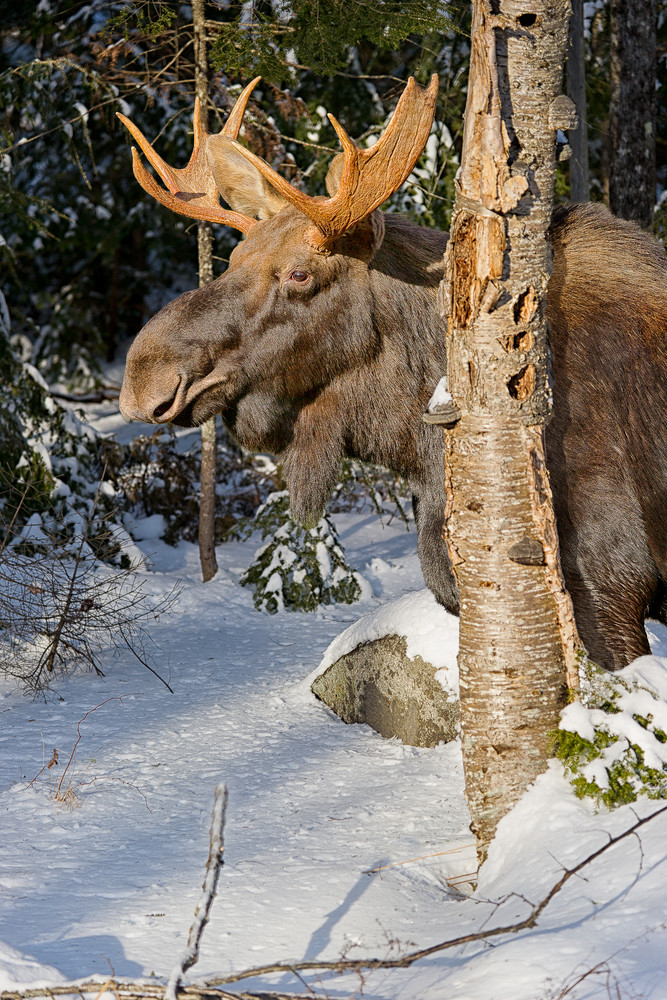 Bull Moose Behind Gray Birch Vertical