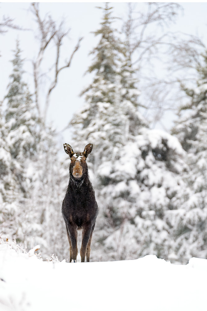 Cow Moose in Snow