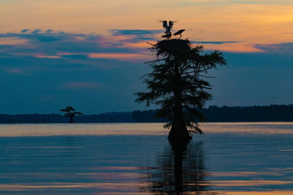 Sunrise On Reelfoot Lake With Osprey  9125 Art | Koral Martin Fine Art Photography