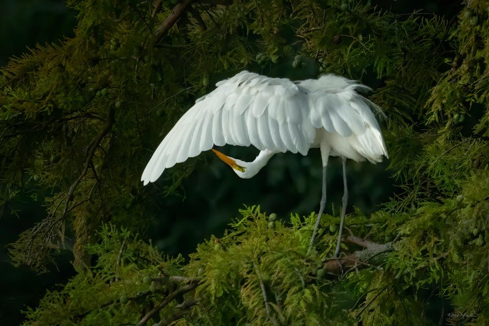 Upside Down Egret 8352  Reelfoot Lake Art | Koral Martin Fine Art Photography